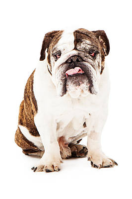Wrinkled Photograph - English Bulldog Sticking Tongue Out by Susan  Schmitz