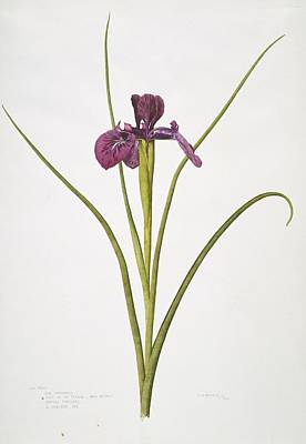 English Iris Flower, 20th Century Print by Science Photo Library