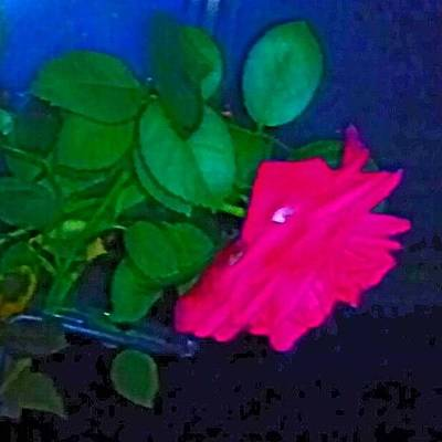 Roses Photograph - English Rose 2 by Genevieve Esson