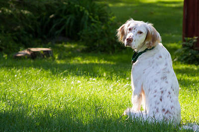 Connecticut Photograph - English Setter In The Grass by Brian Caldwell