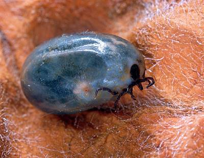 Engorged Black-legged Tick Print by Scott Bauer/us Department Of Agriculture