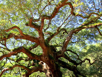 Angel Oak Photograph - Entangled Beauty by Karen Wiles