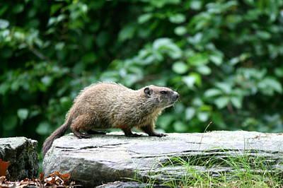 Groundhog Photograph - Enter Groundhog by Neal  Eslinger