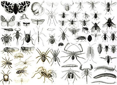 Flies Drawing - Entomology Myriapoda And Arachnida  by English School