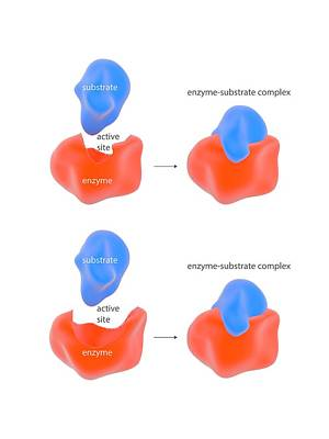 Mechanism Photograph - Enzyme Reaction Models by Science Photo Library