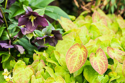 Goat Photograph - Epimedium And Hellebore by Priya Ghose