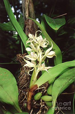 Epiphyte Photograph - Epiphytic Orchid by Gregory G. Dimijian