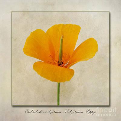 Poppy Digital Art - Eschscholzia Californica  Californian Poppy by John Edwards