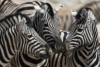 Bonding Photograph - Etosha National Park by Janet Muir