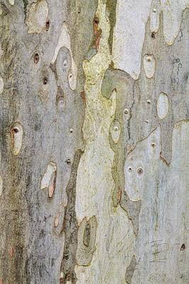 Eucalyptus Dalrymeana Print by Geoff Kidd