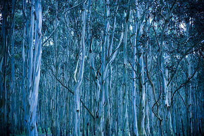 Blueish Photograph - Eucalyptus Forest by Frank Tschakert