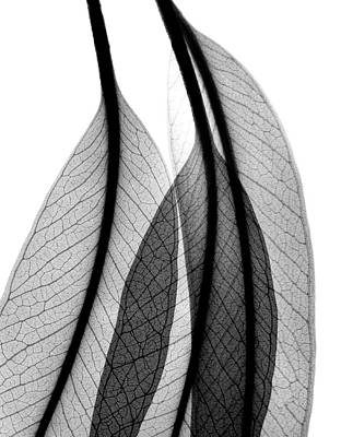 Eucalyptus Leaves Print by Albert Koetsier X-ray