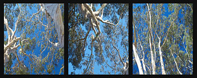 California Photograph - Eucalyptus Tree Panel Triptych 3 by SC Heffner