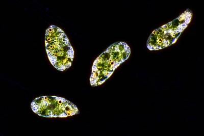 Euglena Protozoa, Light Micrograph Print by Science Photo Library
