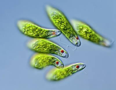 Euglena Sp. Protists Print by Gerd Guenther