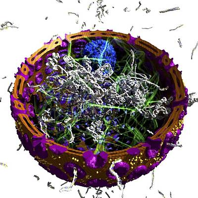 Eukaryotic Cell Nucleus, Artwork Print by Science Photo Library