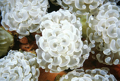 Euphyllia Photograph - Euphyllia Coral Polyps Truk Lagoon by Becca Saunders