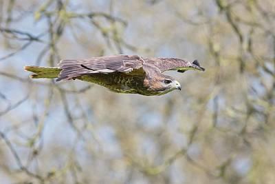 Buzzard Photograph - Eurasian Buzzard In Flight by Linda Wright