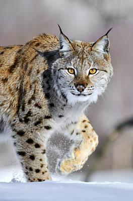 Lynxes Photograph - Eurasian Lynx Walking by Jasper Doest