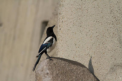 Magpies Digital Art - Eurasian Magpie by Eti Reid