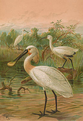 Spoonbill Painting - Eurasian Spoonbill by J G Keulemans