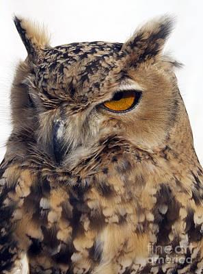 Eurasion Eagle Owl Print by Skip Willits