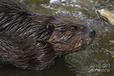 Beaver Photograph - European Beaver by Ludwig Werle
