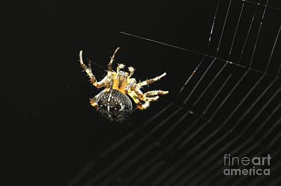 British Garden Orb Spider Photograph - European Garden Spider by Colin Varndell