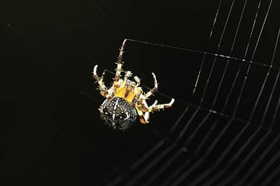 British Garden Orb Spider Photograph - European Garden Spider by Science Photo Library