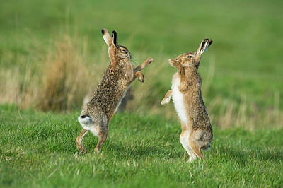 European Hares In March Print by Dr P. Marazzi