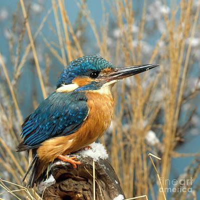 Kingfisher Photograph - European Kingfisher by Hans Reinhard