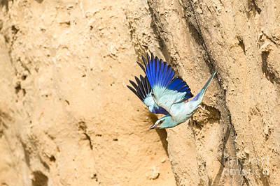 Blueish Photograph - European Roller Coracias Garrulus 1 by Eyal Bartov
