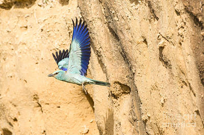 Blueish Photograph - European Roller Coracias Garrulus 3 by Eyal Bartov