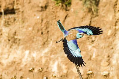 Blueish Photograph - European Roller Coracias Garrulus 4 by Eyal Bartov