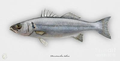 Bass Fishing Drawing - European Seabass Dicentrarchus Labrax - Bar Commun - Loup De Mer - Lubina - Havabor - Seafood Art by Urft Valley Art