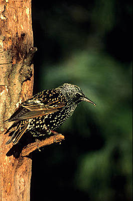 Starling Photograph - European Starling (sturnus Vulgaris by Richard and Susan Day