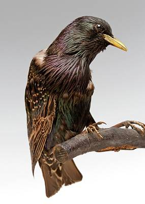 Starlings Photograph - European Starling by Ucl, Grant Museum Of Zoology