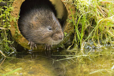 European Water Vole Print by Louise Heusinkveld