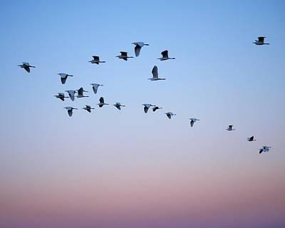 Birds Photograph - Evening Flight by  Kim Bemis