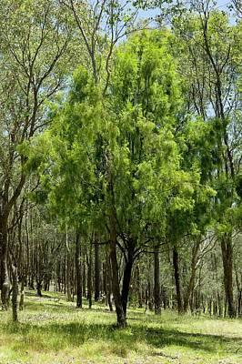 Exocarpus Cupressiformis In Dry Forest Print by Dr Jeremy Burgess