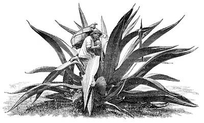 Extracting Agave Sap Print by Science Photo Library