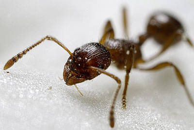 Detail Photograph - Extreme Macro Ant by Mr Bennett Kent