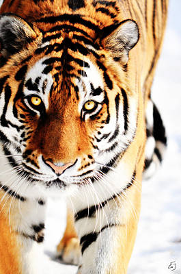 Wildlife Photograph - Eye Of The Tiger by Emily Stauring