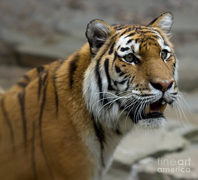The Tiger Hunt Photograph - Eye Of The Tiger by Terry Weaver