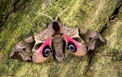 Eyed Hawk-moth Print by Nigel Downer