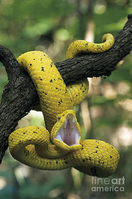 Viper Photograph - Eyelash Viper by David T Roberts  Nature's Images