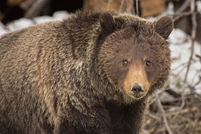 Eyes Of The Grizzly Print by Sandy Sisti