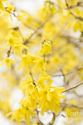 Fabulous Forsythia Print by Anne Gilbert