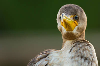Facing The Great Cormorant Print by Andres Leon