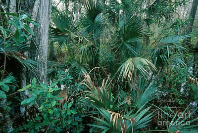 Cypress Swamp Photograph - Fakahatchee Preserve, Florida by Mark Newman